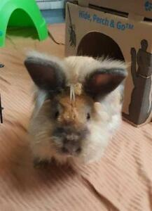 "Young Male Rabbit - Lionhead: ""Kovu"""