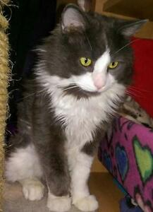 "Senior Male Cat - Domestic Long Hair (Gray & White): ""Gaby"""