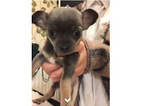 Ready now teacup Blue/lilac/silver female tiny chihuahua