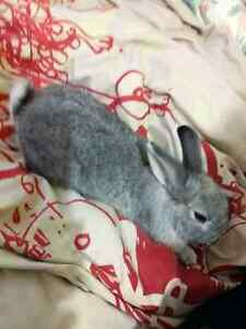 Found: A rabbit found please contact me if you're the right owner Ascot Vale Moonee Valley Preview