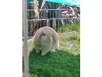 female lop eared rabbit