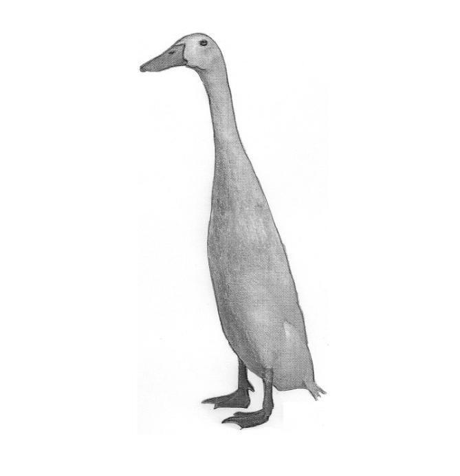 Tall Skinny Duck Store