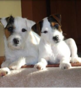 Wanted: Wanted Parson Russell or cross Jack russell