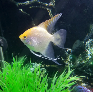 1 Pearscale Angel, 6 Black Skirt tetras for Sale