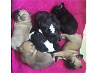 CMR1 HUU DM Clear French bull dog puppies