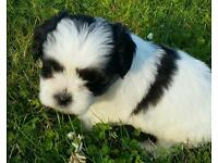 Shih tzu x maltese / bichon frise dog pup