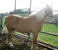 Registered 12hh Gelding Pony