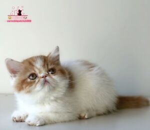 Exotic Shorthair Kitten ready to go home!
