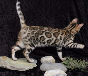 Stunning Bengal kittens in the near future for sale
