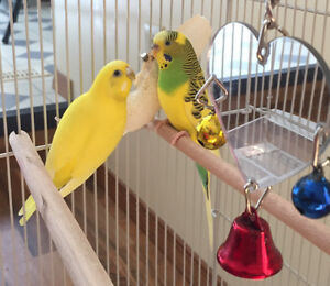 Male and female Parrots for sale with cage and toys