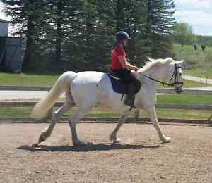 Grey Percheron tb x gelding  Kawartha Lakes Peterborough Area image 3