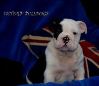 TOP Quality Reg'd English and French Bulldogs Ready Now