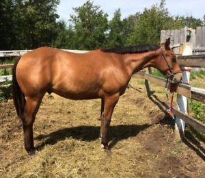 Coming 2 yr old gelding - going to be a big horse!