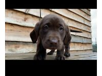 Labrador Puppies KC Registered