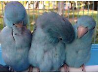 Beautiful blue celestial parrotlets