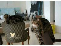 Exotic Shorthair kittens with pedigree from International Champions