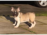 Stunning French bulldog puppy for sale