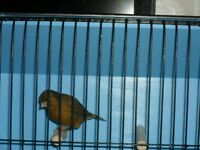 Bronze colour male canary with new cage