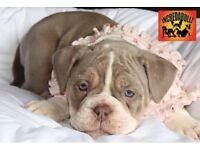 Old English bulldog puppies neBbr registred