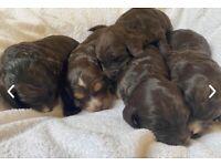 F1 Stunning Chocolate/Sable Cockapoo Puppies