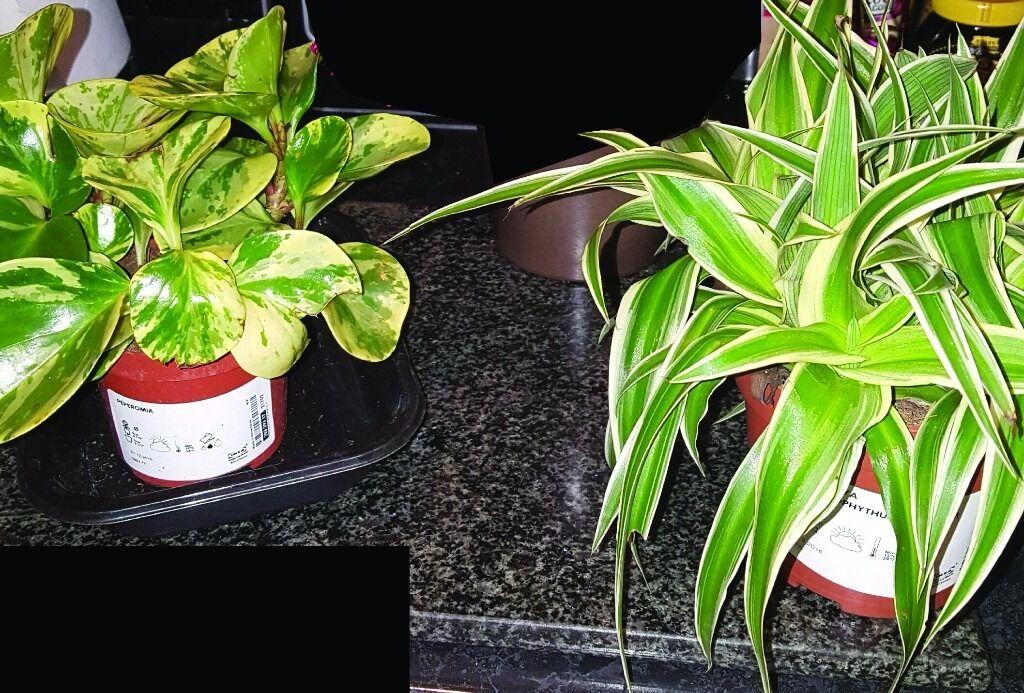 3 House plants - Peperoma, Himalaya comosum and Bromeliad Sword