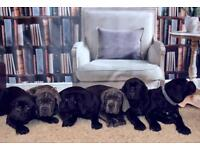 Beautiful Cane Corso puppies for SALE