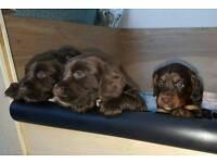 Kc Reg - Cocker Spaniel Puppies