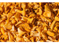 Wild Mushrooms Wanted, Chanterelles, Ceps. Good Price Offered