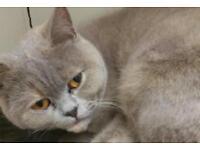 Beautiful lilac and cream female British Shorthair kitten