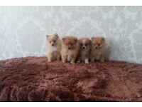stunning miniature Pomeranian puppies