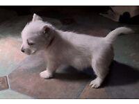1 Adorable KC registered westie puppy