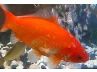 Goldfish 3-5 inch female