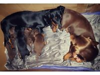 2 Chocolate Dachshund boys left for sale separately or together