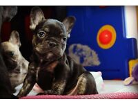 STUNNING FRENCH BULLDOG PUPS ~ GREAT PEDIGREE ~ KC REGISTERED