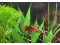 Guppies adults/fry