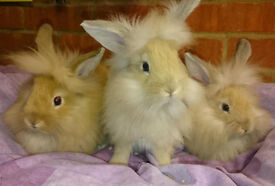 Adorable Fluffy Lion Head X Lop Bunnies/Rabbits