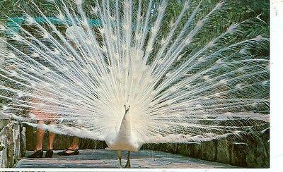 ST.PETERSBURG,FLORIDA-SUNKEN GARDENS-WHITE PEACOCK-BIRD AVIARY-(BIRDS-495)