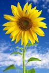 sunflower662017