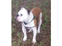 English Bulldog requires adoption