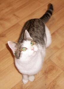 "Adult Female Cat - Domestic Short Hair: ""Azelle"""