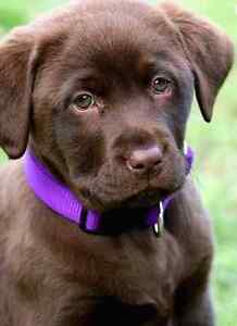Iso chocolate lab puppy