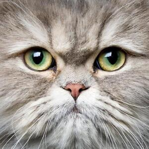 persian cat to give away to a great home