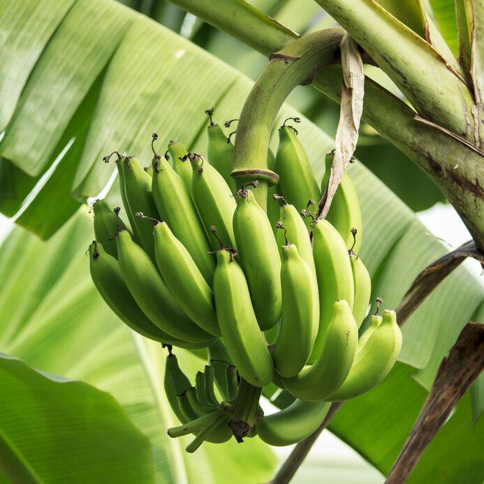 so bringen sie ihre bananenpflanze gut durch den winter ebay. Black Bedroom Furniture Sets. Home Design Ideas