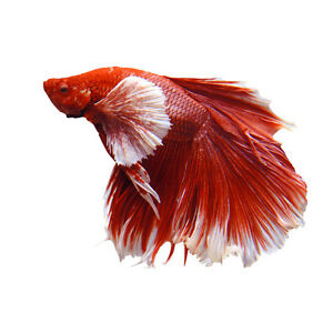 Live Betta Fish | eBay - photo#42