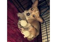 Chihuahua mix pups