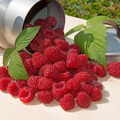 Plant 5 Ft Row- Cascade Delight Raspberries- Grow 5+ Canes- Berries next spring ()