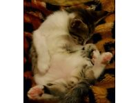 White/Black Kitten (Savannah mother)