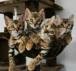 Beautiful Bengal Kitten ready to go!