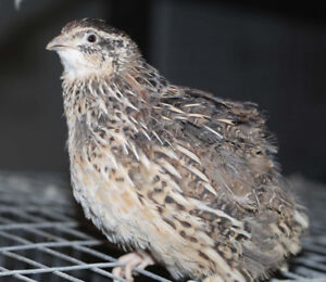 Quail chicks, eggs and ready to lay females for sale