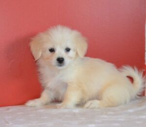 Bichon/Shih-Tzu  cross puppies
